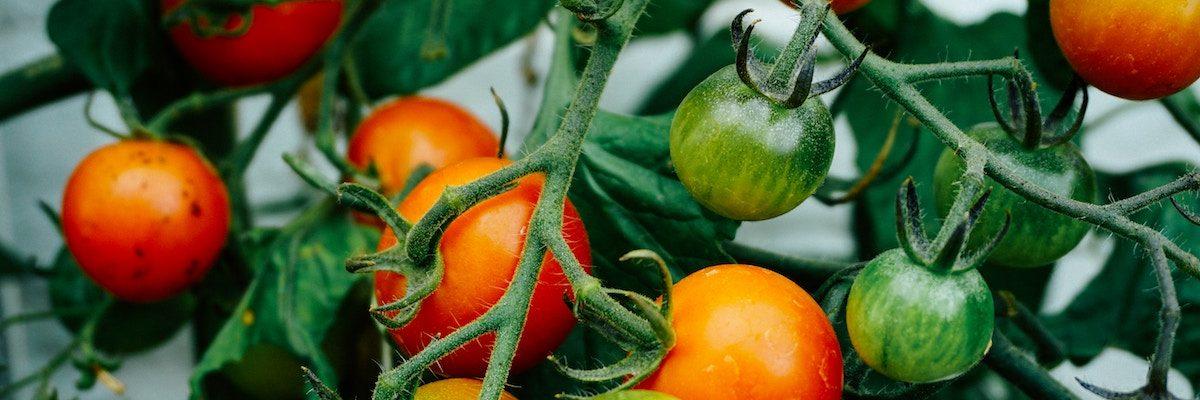tomate- Livraison de fruits et légumes BIO - Graines d'ici - Nantes