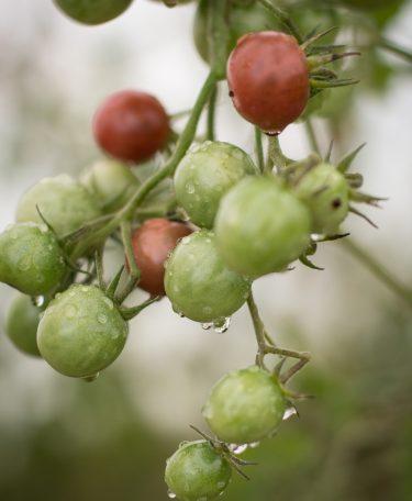 tomate cerise - Livraison de fruits et légumes BIO - Graines d'ici - Nantes
