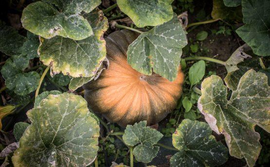courge muscade - Livraison de fruits et légumes BIO - Graines d'ici - Nantes