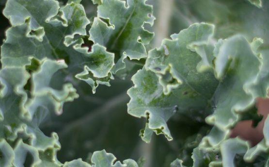Le chou kale bio de chez Patrick GAUTHIER producteur local de Graines d'ici