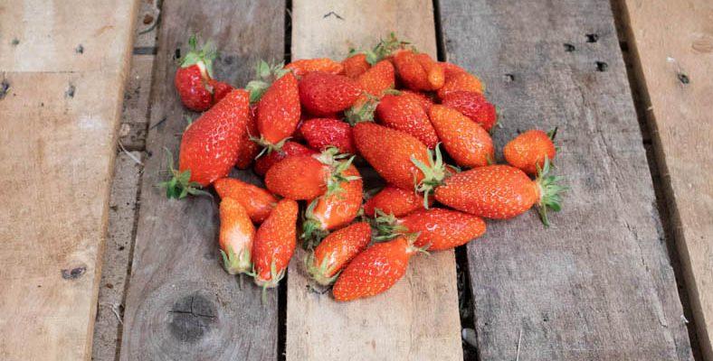 Fraises gariguette 44 - Livraison de fruits et légumes BIO - Graines d'ici - Nantes